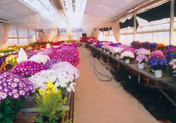 サムネイル:鉢花の生産・直売 杉田花園